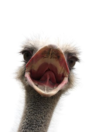 the ostrich: ostrich head isolated
