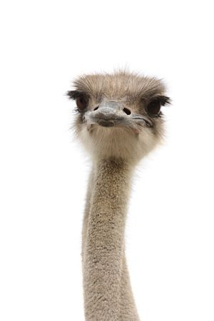 emu bird: young female ostrich isolated