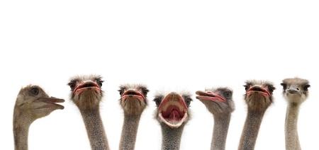 ostrich: ostrihes cutout Stock Photo