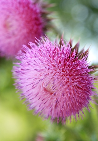 thistle flower, symbol of Scotland,shallow depth of field. photo