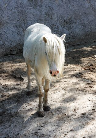 white pony in the farm Archivio Fotografico