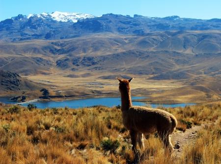 Alpaca on top of mountain overlooking a beautiful lake in Peru