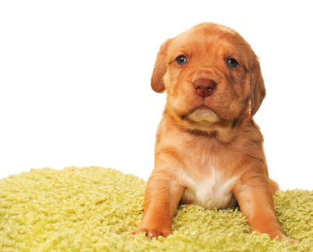 beagle mix: Closeup of cute one month old puppy isolated on white