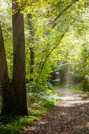 penetrate: Rays of light penetrate through fog and tree branches in a forest at dawn over a pathway covered by leaves
