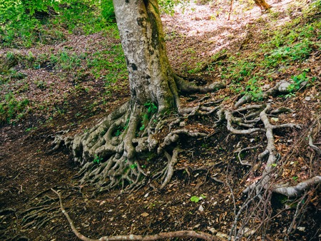 centenarian: The roots of the tree above the ground. Flowers and plants in Montenegro.