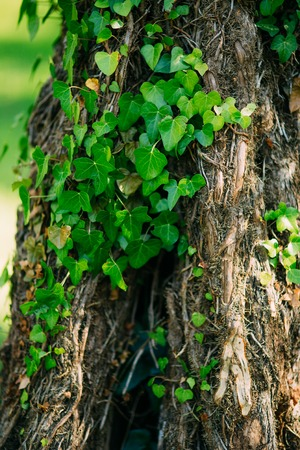 Trees overgrown with ivy. Texture of wild plants in the forest. Stock Photo