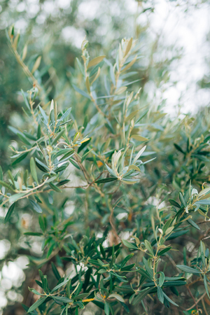 olive green: Olive branch with leaves close-up. Olive groves and gardens in Montenegro. Stock Photo