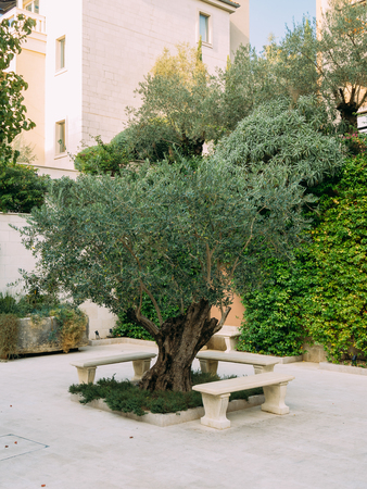 olive green: Olive Tree. Olive groves and gardens in Montenegro.