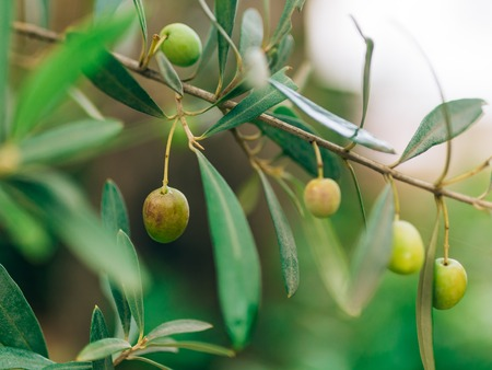 olive green: Olive branch with fruits. Olive groves and gardens in Montenegro.