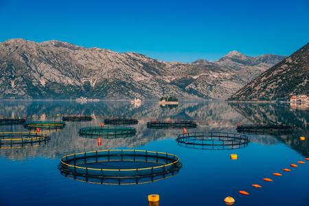 Allevamento ittico in Montenegro. La fattoria per l'allevamento e la piscicoltura nella baia di Kotor. Archivio Fotografico - 86003454