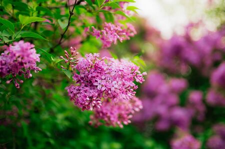 Flowering branch of purple lilac on a tree in a forest close-up. Stock Photo