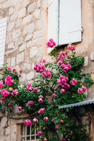 Pink climbing roses on the wall in the old town of Perast in Montenegro.