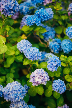 Blue, blue, pink flowers Hydrangea in the old town of Perast in Montenegro. Фото со стока