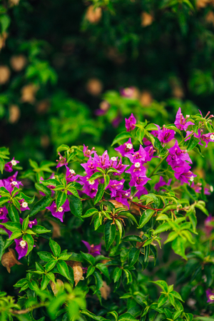 bunch of pink bougainville tropical flower closeup shot Фото со стока