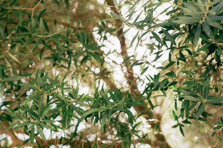 blue background: Branches and leaves of an olive tree in an olive grove in Montenegro.