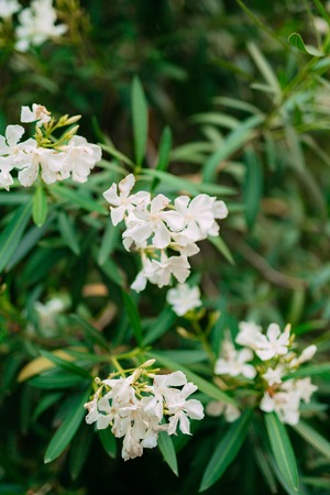 Branch with leaves of white oleander flowers flowers and plants branch with leaves of white oleander flowers flowers and plants in montenegro stock photo mightylinksfo
