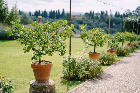 Yellow lemons on a tree, lemon trees in pots.