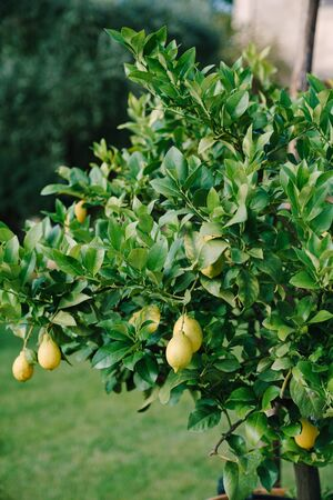 Bunches of fresh yellow ripe lemons on lemon tree branches in Italian garden