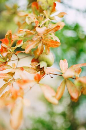 A small pomegranate fruit on a tree branch with red leaves. High quality photo