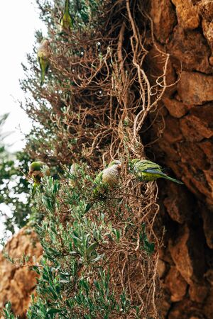 The green parrot monk or Kalita, or Myiopsitta monachus in the Park Guell, Barcelona, Spain.
