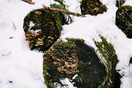 fungi grew on felled rotten trees lying on the snow in the forest. Stok Fotoğraf