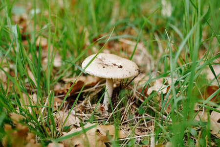 Lepiota mushroom in the grass with autumn foliage in the forest.