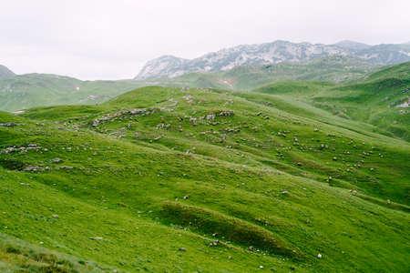 Herd of sheep grazes on a green meadow in northern Montenegro 版權商用圖片