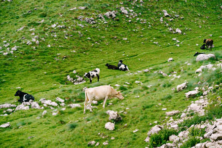 A herd of cows grazes on green hilly meadows in the mountains of Montenegro. Durmitor National Park, Zabljak. The cows are nibbling the grass. Banque d'images