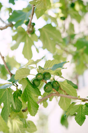 Large fig fruits in the foliage on the tree. Stok Fotoğraf