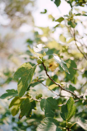 Green fig fruit on tree branches among the foliage. Stok Fotoğraf