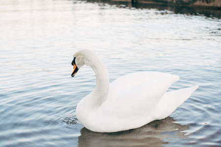 A close-up of a white swan on the water.