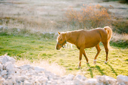 A brown horse against the backdrop of an autumn forest in golden sunlight. Stok Fotoğraf