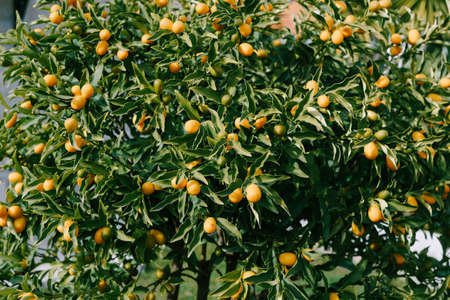 Kumquat or fortunella tree with ripe orange fruits on branches in the garden. Stok Fotoğraf