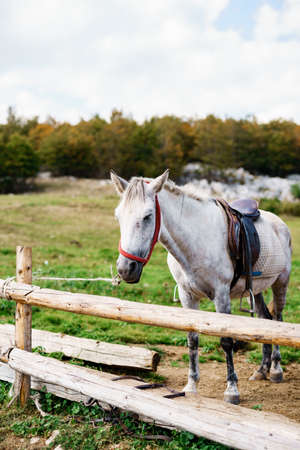 A white horse in a wooden paddock outside on a farm.