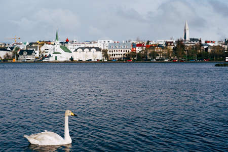 A white swan swims in the water on Lake Tjornin in Reykjavik, Iceland.
