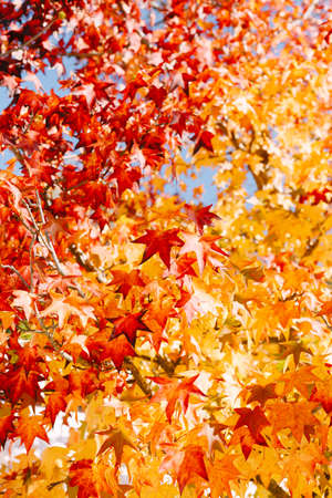 Gradient color from yellow to red - autumn foliage on the branches of the maple tree. Autumn background, fiery colors. Lots of bright leaves on the tree in October. Stok Fotoğraf