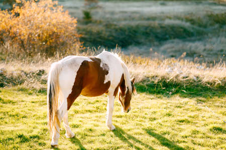 A white-brown horse walks in a meadow in the sunset light.