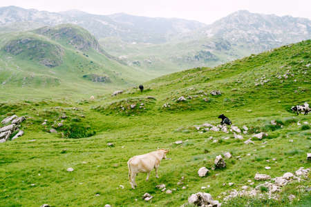A herd of cows grazes on green hilly meadows in the mountains of Montenegro. Durmitor National Park, Zabljak. The cows are nibbling the grass.
