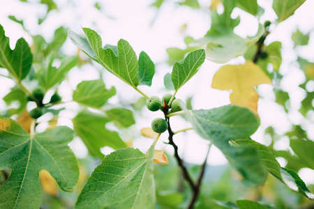 Close-up of green figs on tree branches, among yellow and green autumn leaves. Stok Fotoğraf