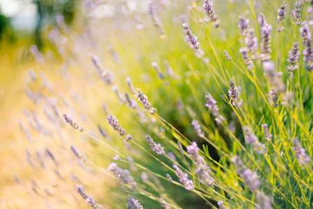 A close-up of flowering lavender bushes in the field.