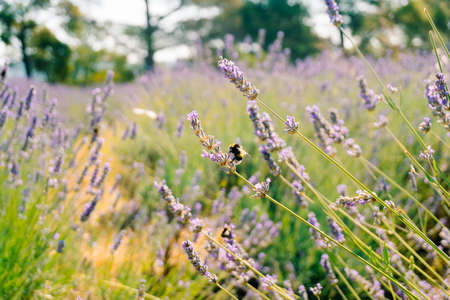 Bumblebees collect pollen from the flowering flowers of lavender. Stok Fotoğraf