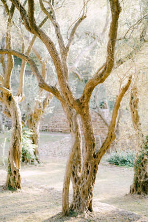 Sunset sunlight in a multi-storey olive grove. Tree trunks entwined with ivy. Stok Fotoğraf