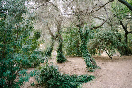 Olive trees in a grove entwined with green ivy. Stok Fotoğraf
