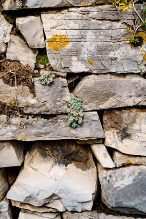 The wild Sedum succulent grows in a stone wall.