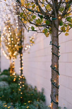Included Christmas garland on a tree trunk outside. New Years street lighting in the park. Festive lights. Small Light Bulbs Close Up With Bokeh In The Background.