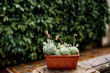 Clay brown flowerpot with blooming Echeveria succulents.