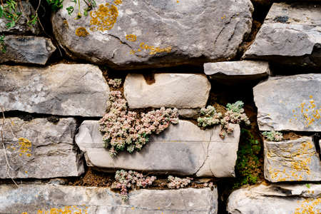 The wild Sedum succulent grows in a stone wall. 스톡 콘텐츠