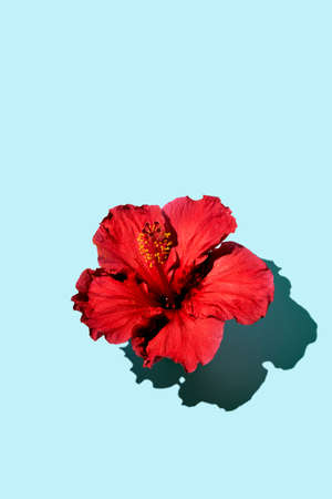 Fashion minimalistic concept flat lay of a hibiscus flower on a blue background. Copy space Imagens