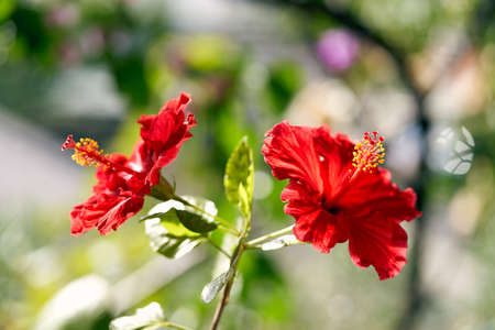 Close-up of two hibiscus flowers on a bright sunny day