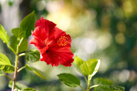 Photo of a blooming hibiscus flower on a green background